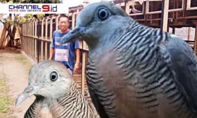 Di Tengah Pandemi Covid-19, Suami dan Istri Berhasil Budidaya Burung Perkutut
