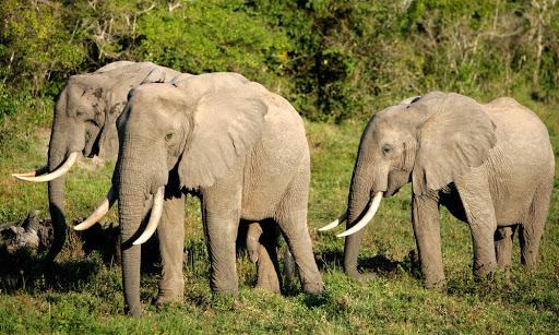 Zimbabwe Akan Mempersilahkan Perburuan Gajahnya