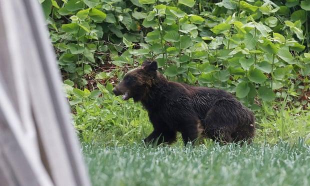 Beruang Coklat di Jepang Mengamuk, Terpaksa di Tembak Mati